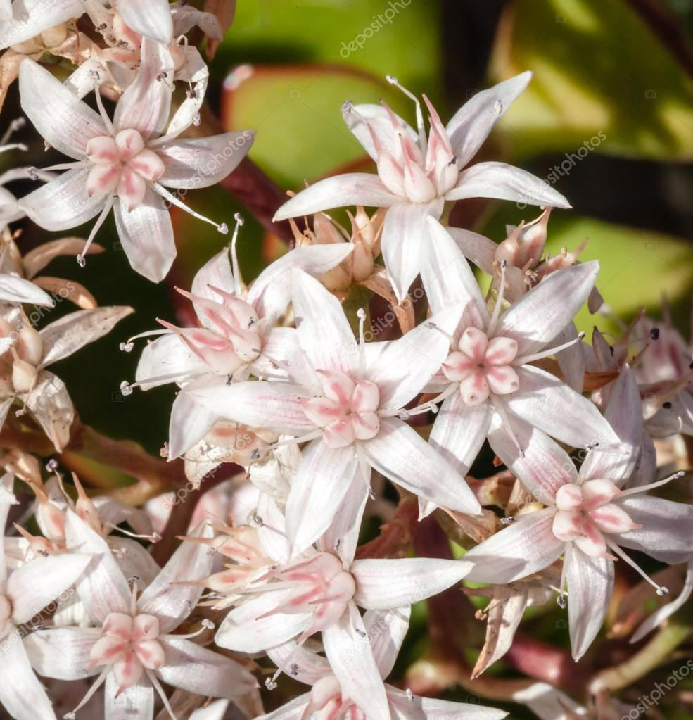 Pink And White Cluster Of Flowers On Jade Plant Stock Photo