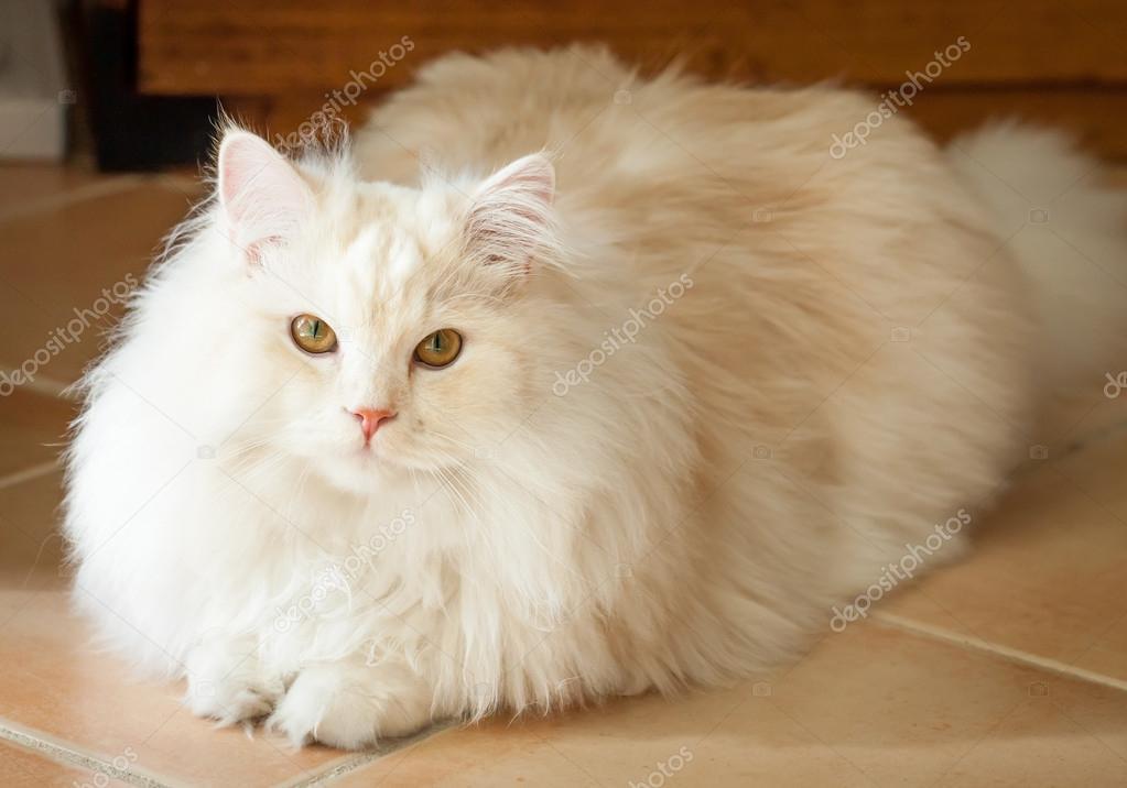 Apricot White Cat