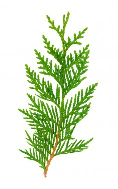 Green twig plant thuja close up on a white background stock vector