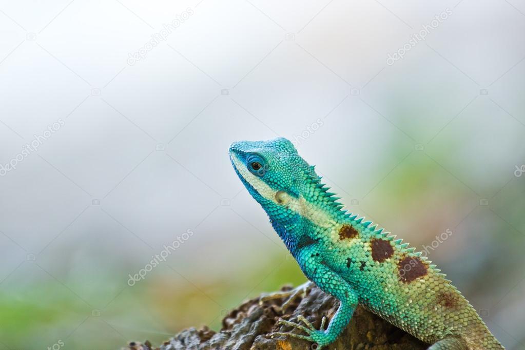Blue iguana in the nature