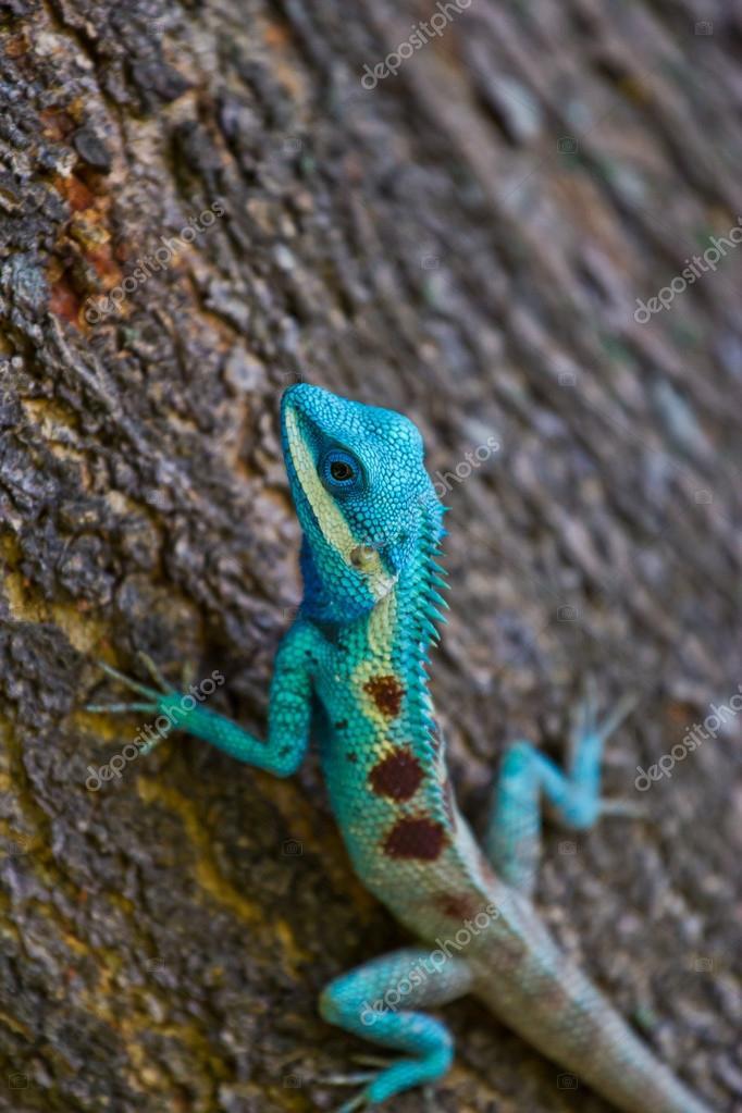 Blue iguana on tree branch