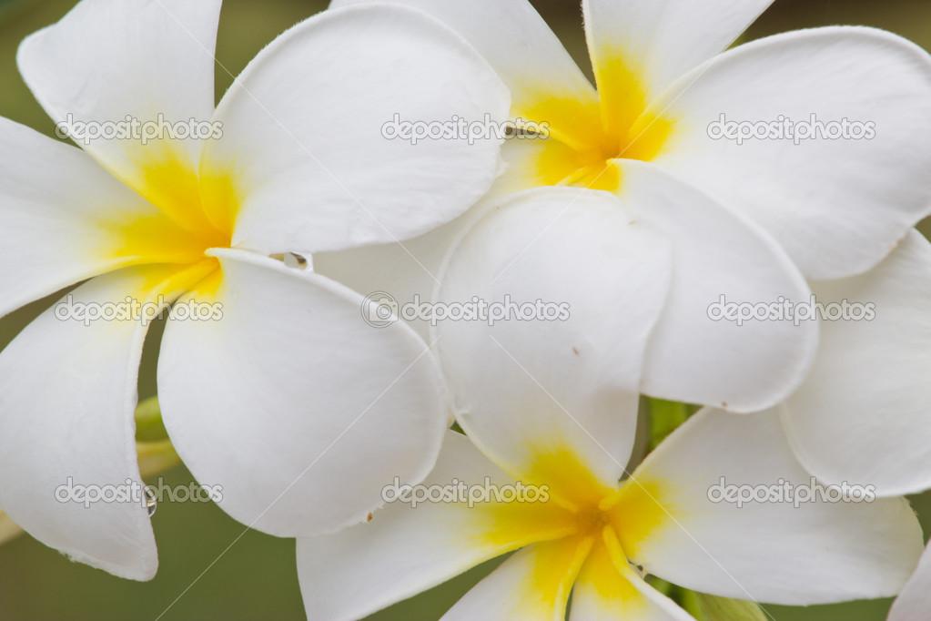 Thai Blumen