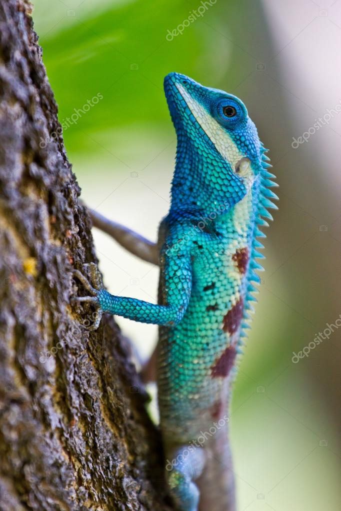 Blue iguana on tree branch