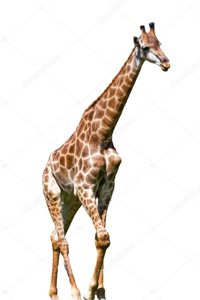 giraffe is isolated on white background