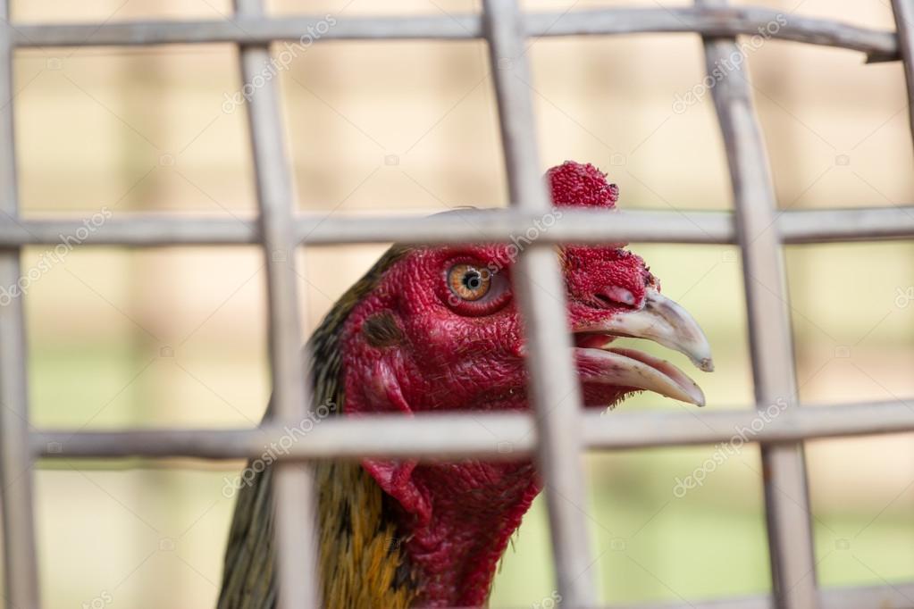 cock at thailand