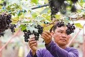 Fotografia uomo nella vigna raccolta dell uva