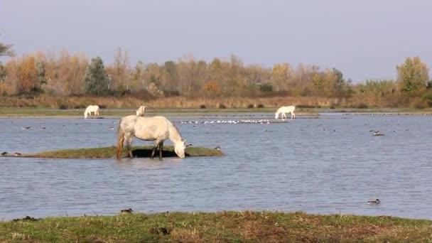 Camargue koně v přírodě