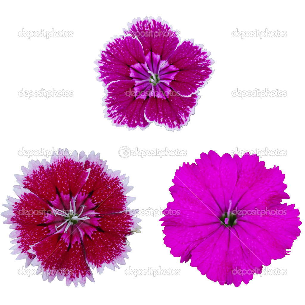 Dianthus Or Sweet William Flower Stock Photo Trichopcmu 45726013