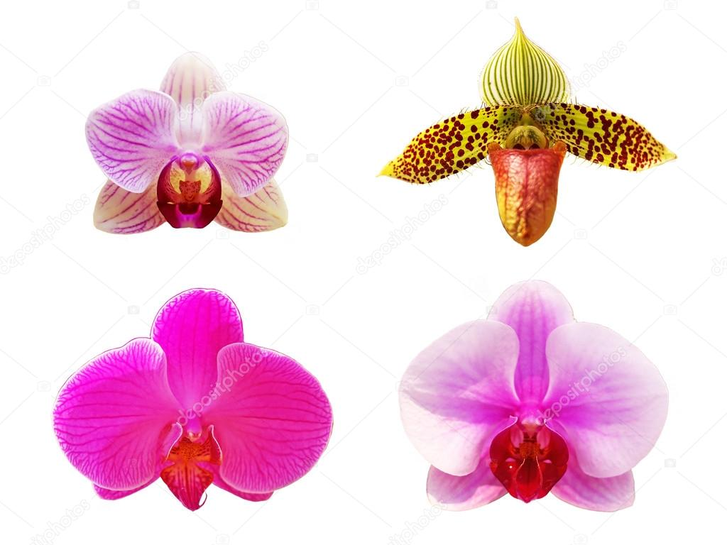 Moth Orchid And Lady Slipper Orchid Flowers Stock Photo