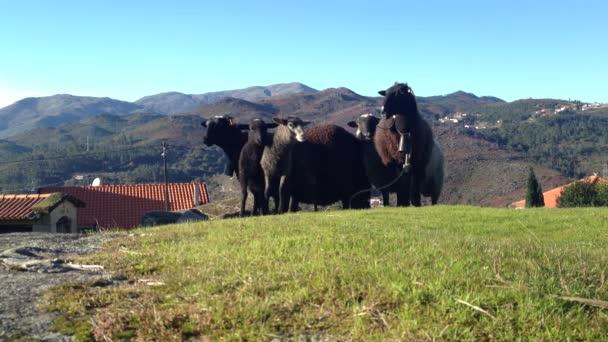 ovce na zelené louce