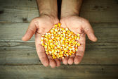 Mans hands holding grains of ripes dry corns