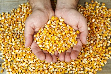 man's hands holding grains of ripes dry corns