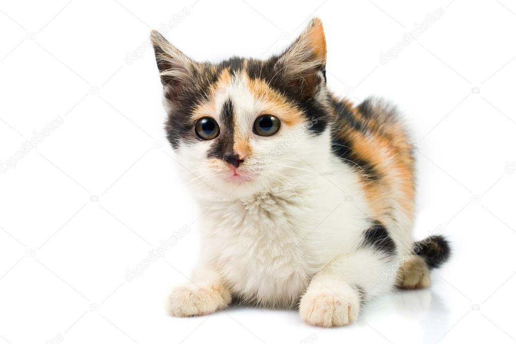 gatito de tres colores — Foto de stock © wujekspeed #19274721