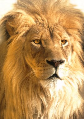 African lion portrait, panthera leo