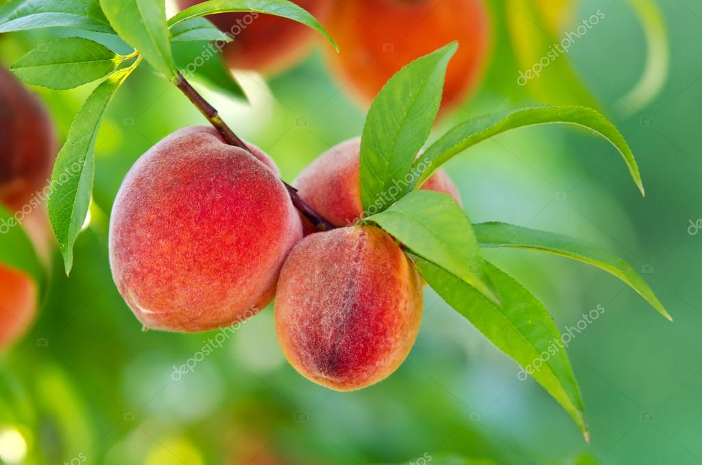 Peaches hanging on a tree branch