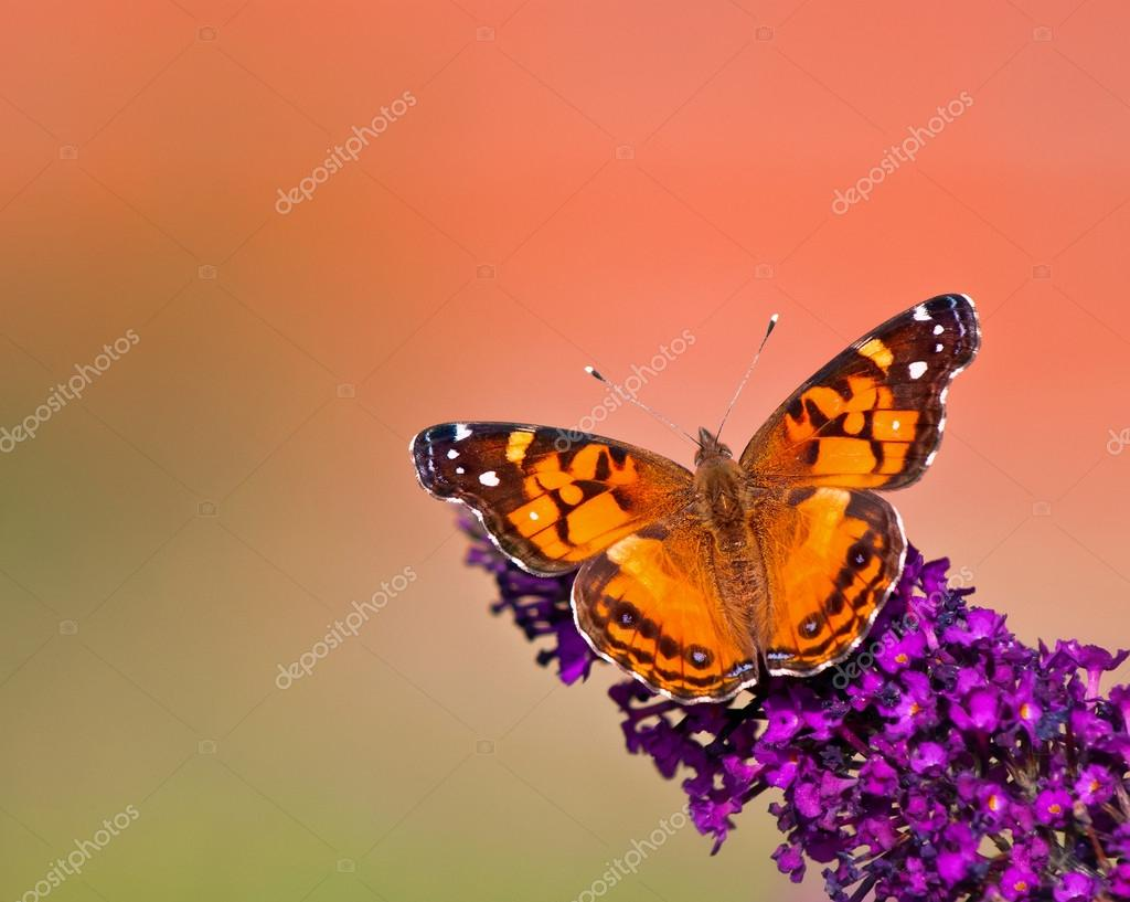 American Lady (Vanessa virginiensis) butterfly