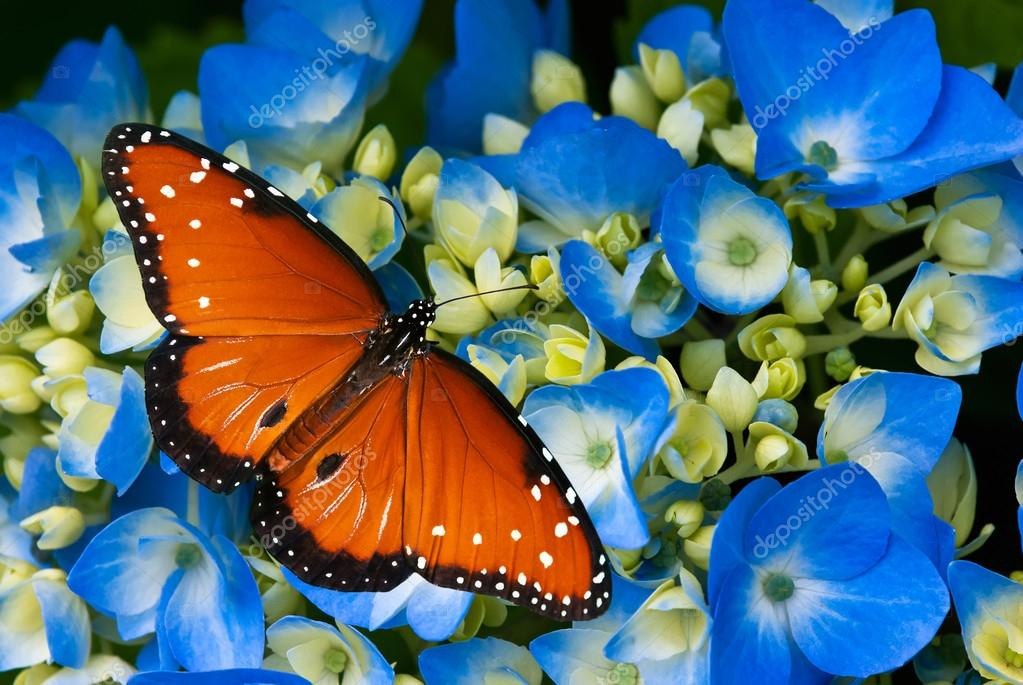 Queen butterfly on hydrangea flower