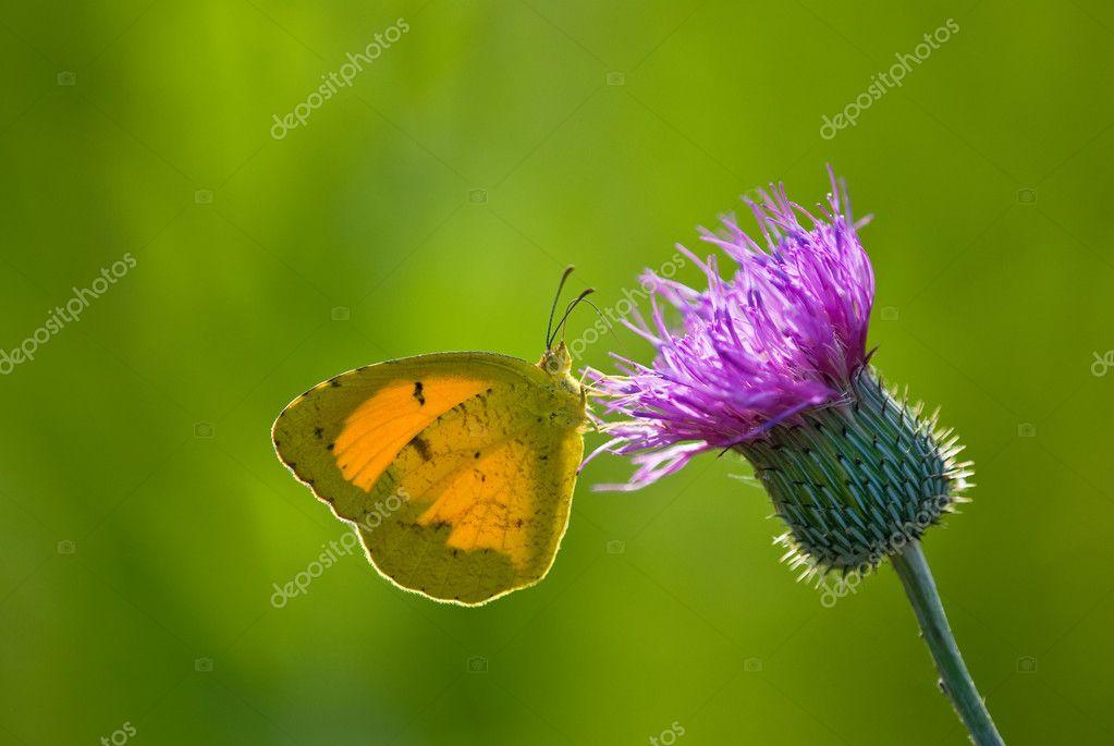 Sleepy Orange butterfly (Eurem...