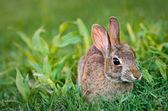 Fotografia coniglio silvilago mangiare erba