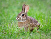 Cottontail bunny rabbit eating grass