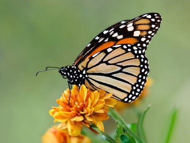 Migrating Monarch butterfly