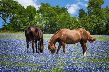 Horses grazing in the bluebonnet pasture
