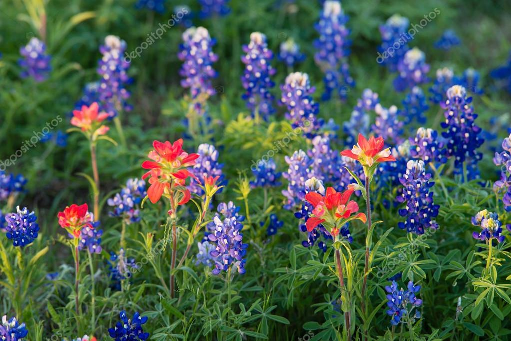 Texas Bluebonnet and Indian Paintbrush wildflowers