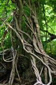 Zkroucené kořeny tropických stromů v deštném pralese