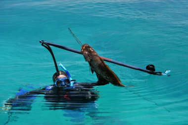 Diver caught black grouper fish