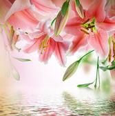 Mnohobarevná lilie na tmavém pozadí