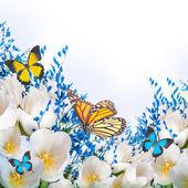 bílé tulipány s modrou trávou a motýl