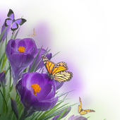 Photo Spring crocuses with butterfly