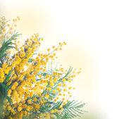 žluté mimózy