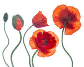Red poppies field,