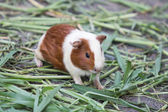 Photo guinea pig