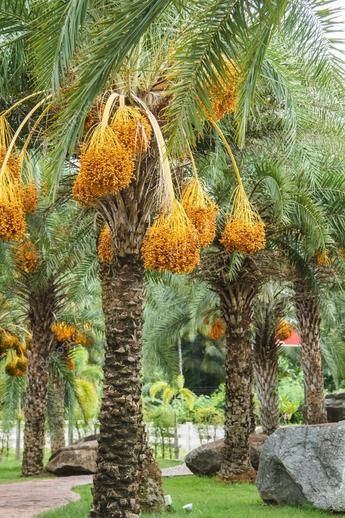Close up yellow betel nut at palm tree