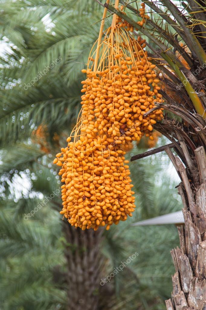 Close Up Yellow Betel Nut At Palm Tree Stock Photo