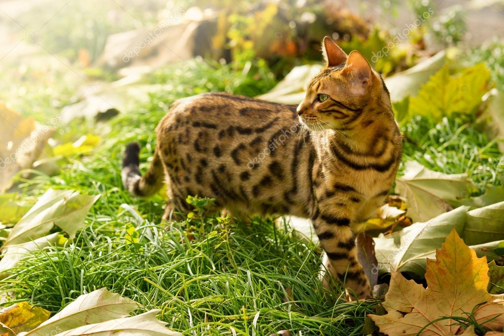 Bengal Cat playing in Garden