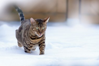 Bengal Cat running in Snow