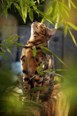 Bengal Cat in the Sun