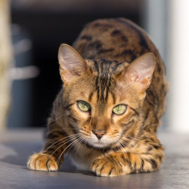 Bengal Cat attentive looking