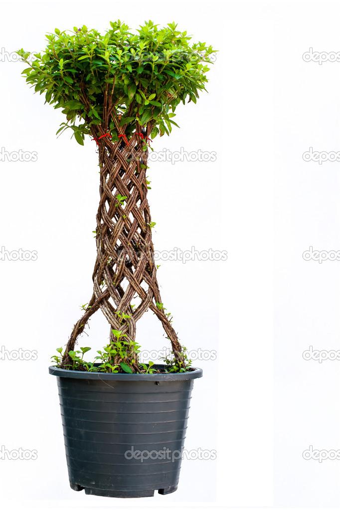 Saule bonsaï — Photographie stingray1 © #35668617