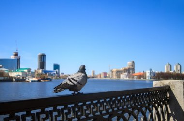 The dove on the background of the central waterfront Yekaterinbu