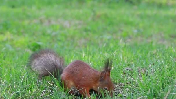 veverka jí slunečnicová semena na zemi. pak uteče