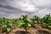 Fotografia pianta di tabacco