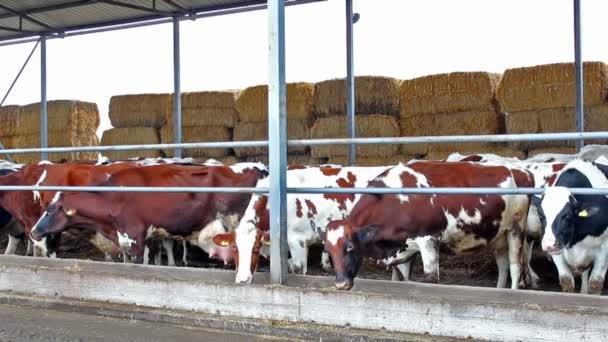 kráva farma