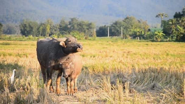 Baby Asie buffalo a matka v zemědělské krajině