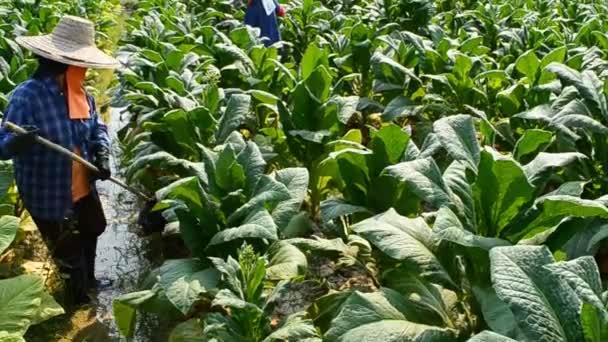 Rolnik Pracy Rośliny Tytoniu W Gospodarstwie Z Tajlandii