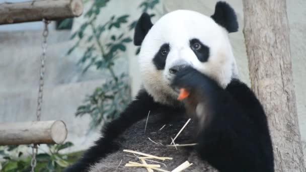 Cute giant panda bear eating carrot