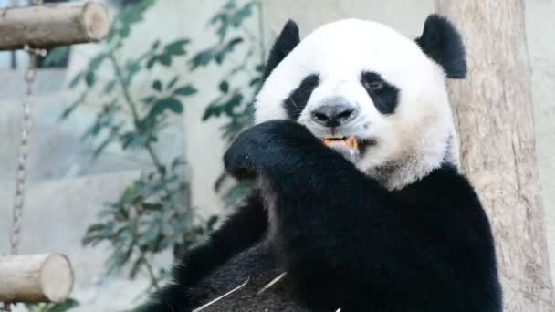 Cute giant panda bear eating bamboo